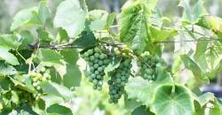 Renault's Grape Harvest Social ,Egg Harbor City